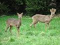 Roe deer alert - geograph.org.uk - 702023.jpg