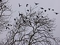 Rooks on Pewley Down - geograph.org.uk - 639584.jpg