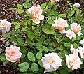 Rosa 'Perle d'Or'.jpg