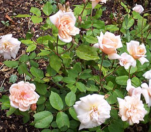 Rosa 'Perle d'Or' - Image: Rosa 'Perle d'Or'