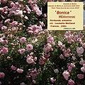 "Rosa ""Bonica"", o MEIdomonac. 05.jpg"