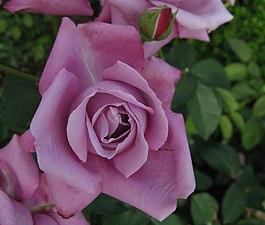 Rosa Charles de Gaulle01.jpg
