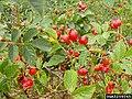 Rosa canina fruit (47).jpg