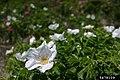 Rosa rugosa inflorescence (35).jpg