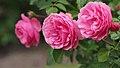 Rose, Leonardo da Vinci, バラ, レオナルド ダ ビンチ, (15956365092).jpg