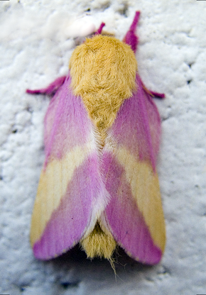 Description de l'image  Rosy Maple Moth.png.