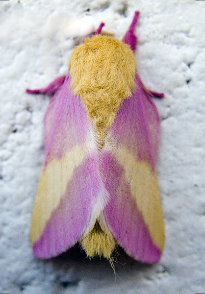 File:Rosy Maple Moth.png