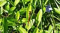 Rote Libelle am vorderen Feuerlöschteich im Solling (Deensen-Schorborn) 2.jpg