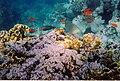 Rotes Meer Ägypten Makadi Bay Korallenriff - Schnorcheltiefe - panoramio (2).jpg