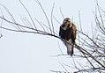 Rough-legged Hawk - CM (31399985623).jpg