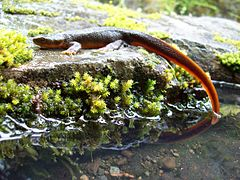 Rough-skinned newt.jpg