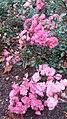 Roze i Älmhult.jpg