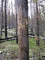 Rub tree (Northern Divide Grizzly Bear Project) (4427395613).jpg