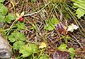 Rubus pedatus (Mount Hijiri).JPG