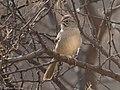 Rufous-crowned Sparrow Leslie Canyon NWR Douglas AZ 2017-12-26 11-12-42 (27553465379).jpg