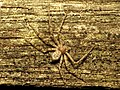 Running Crab Spider (30149719864).jpg