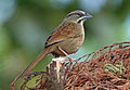 Rusty Sparrow, El Triunfo, Mexico (16583752214) (cropped).jpg