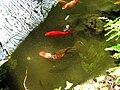 Ryby ve skleníku v Lednici (3).jpg