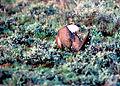 Sage-grouse (15573962858).jpg