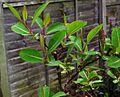 Salix magnifica - Flickr - peganum.jpg
