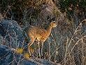 Saltarrocas (Oreotragus oreotragus), parque nacional Kruger, Sudáfrica, 2018-07-25, DD 59.jpg