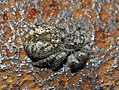 Salticidae - Philaeus chrysops (female)-001.JPG