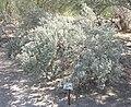 Salton Sea - Texas Sage (Leucophyllum frutescens).JPG