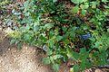 Salvia madrensis - Zilker Botanical Garden - Austin, Texas - DSC09019.jpg