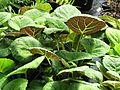 Salvia omeiana ex Crug Thundercloud - Flickr - peganum.jpg