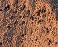 Sand-Martin.jpg