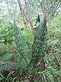 Sansevieria hyacinthoides form (4523504264).jpg