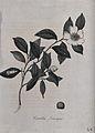 Sasanqua camellia plant (Camellia sasanqua); flowering stem Wellcome V0044088.jpg