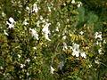 Satureja montana 3c.JPG