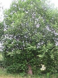 Saule (Salix aurita), Saint-Aubin-le-Cauf, France - 20100703-01.jpg
