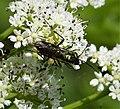 Sawfly Tenthredo species (24691630367).jpg