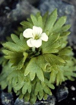 Saxifraga pedemontana ssp cymosa.jpg