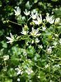 Saxifraga rotundifolia sl5.jpg