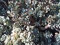 Saxifragales - Crassula arborescens 2.jpg