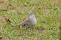Scaled Dove (Columbina squammata) (28624140253).jpg
