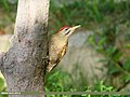 Scaly-bellied Woodpecker (Picus squamatus) (34868142421).jpg