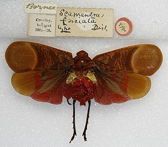 Fulgoridae - Image: Scamandra fasciata Type (5033372789)