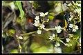 Scaptesyle bicolor integra (15090990813).jpg