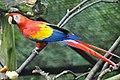 Scarlet macaw (Ara macao).jpg