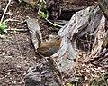Scelorchilus rubecula, Chile.jpg