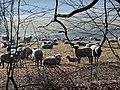 Schafe - panoramio.jpg
