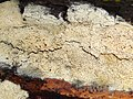 Schizopora paradoxa a1 (1).jpg