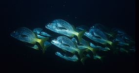 School of yellow snapper (Lutjanus argentiventris), Galapagos Islands, Ecuador (5713561870).jpg