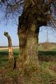 Schotten Eichelsachsen Gestuet Zwiefalten Natural monuments Tree hollow.png