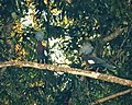 Sclater's Crowned Pigeon Goura sclaterii (48750094867).jpg