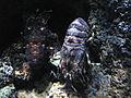 Scyllarus arctus.JPG
